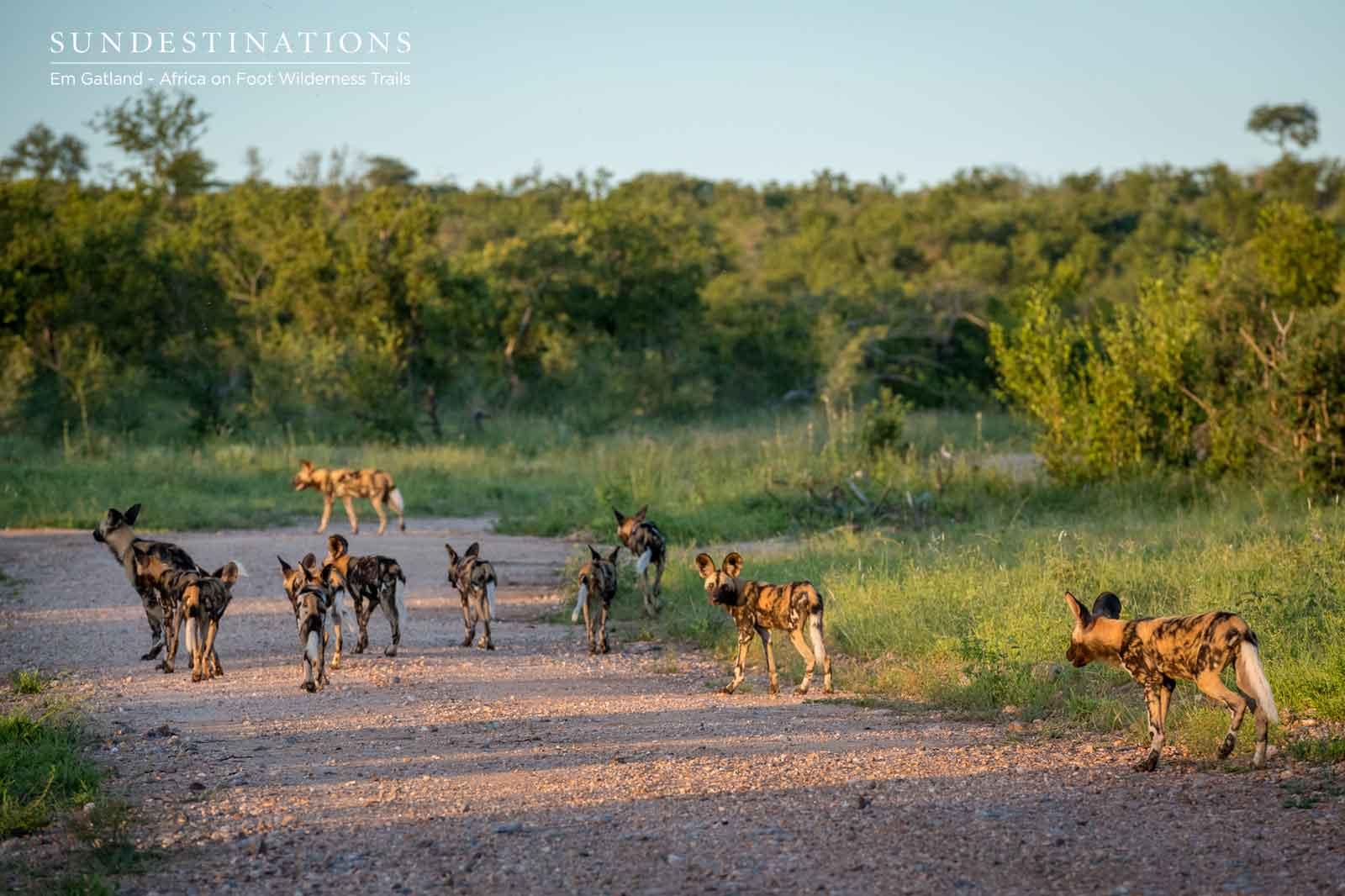 Maseke African Wild Dogs