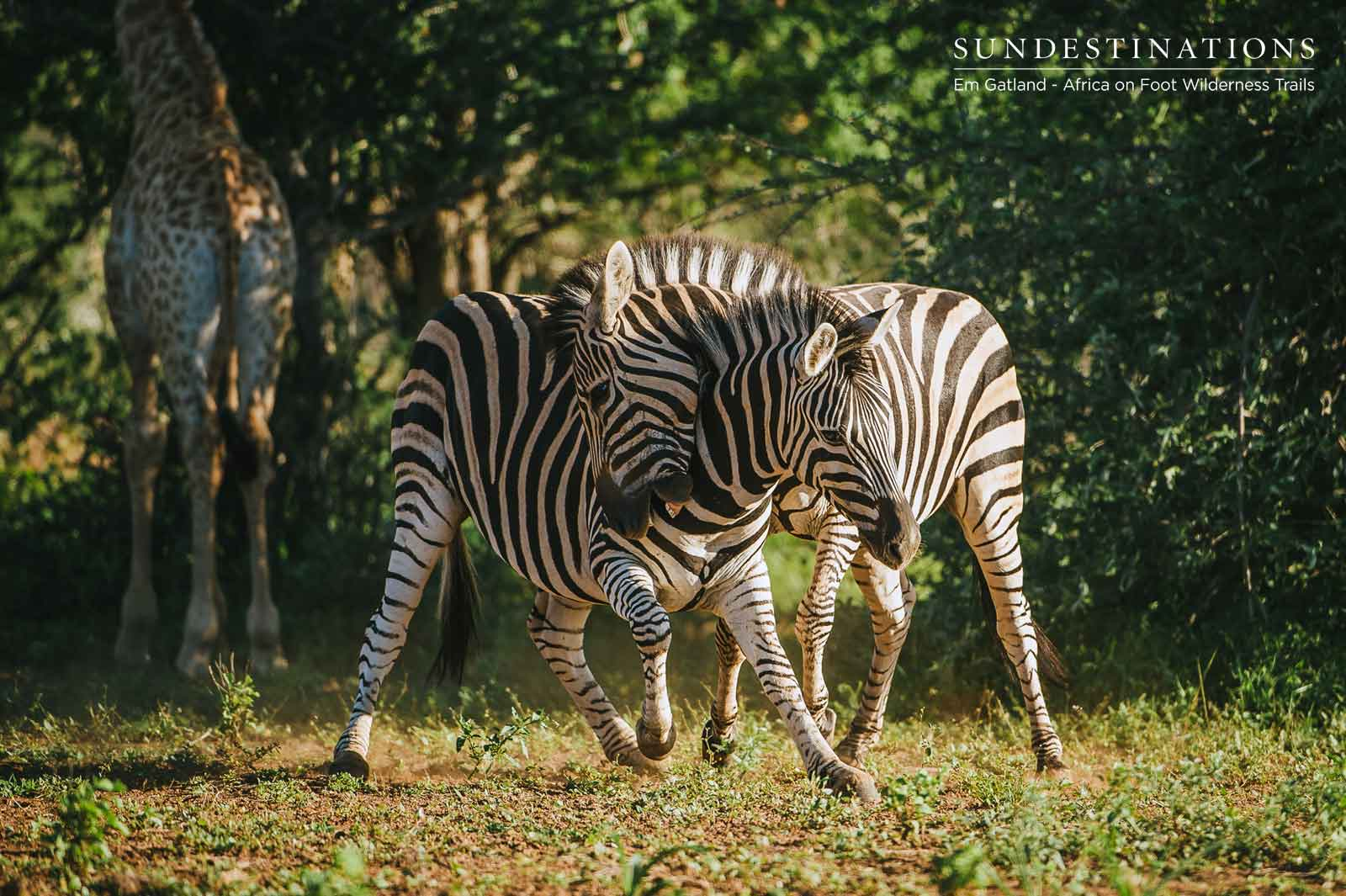 Maseke Zebra and Giraffe