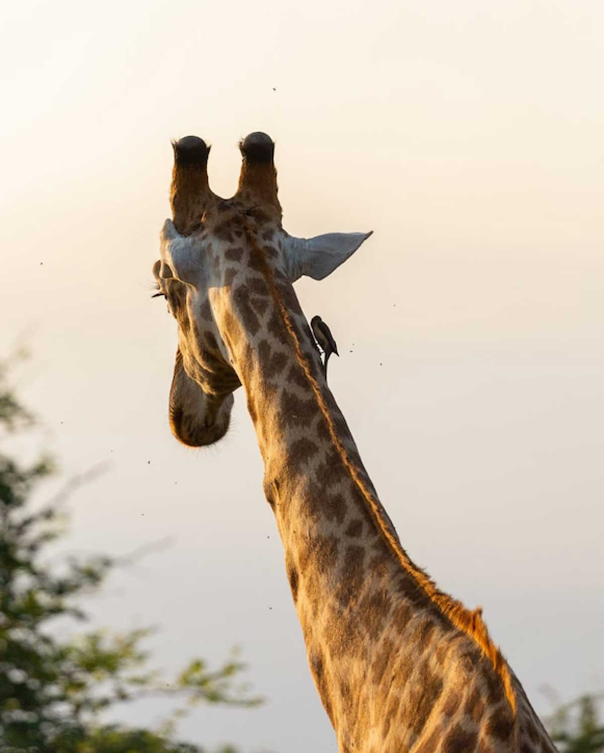 Nsala Safari Camp Giraffe