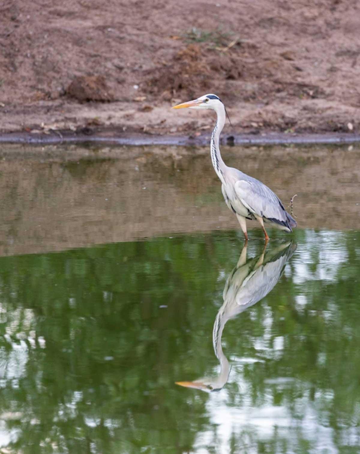 Nsala Grey Herons
