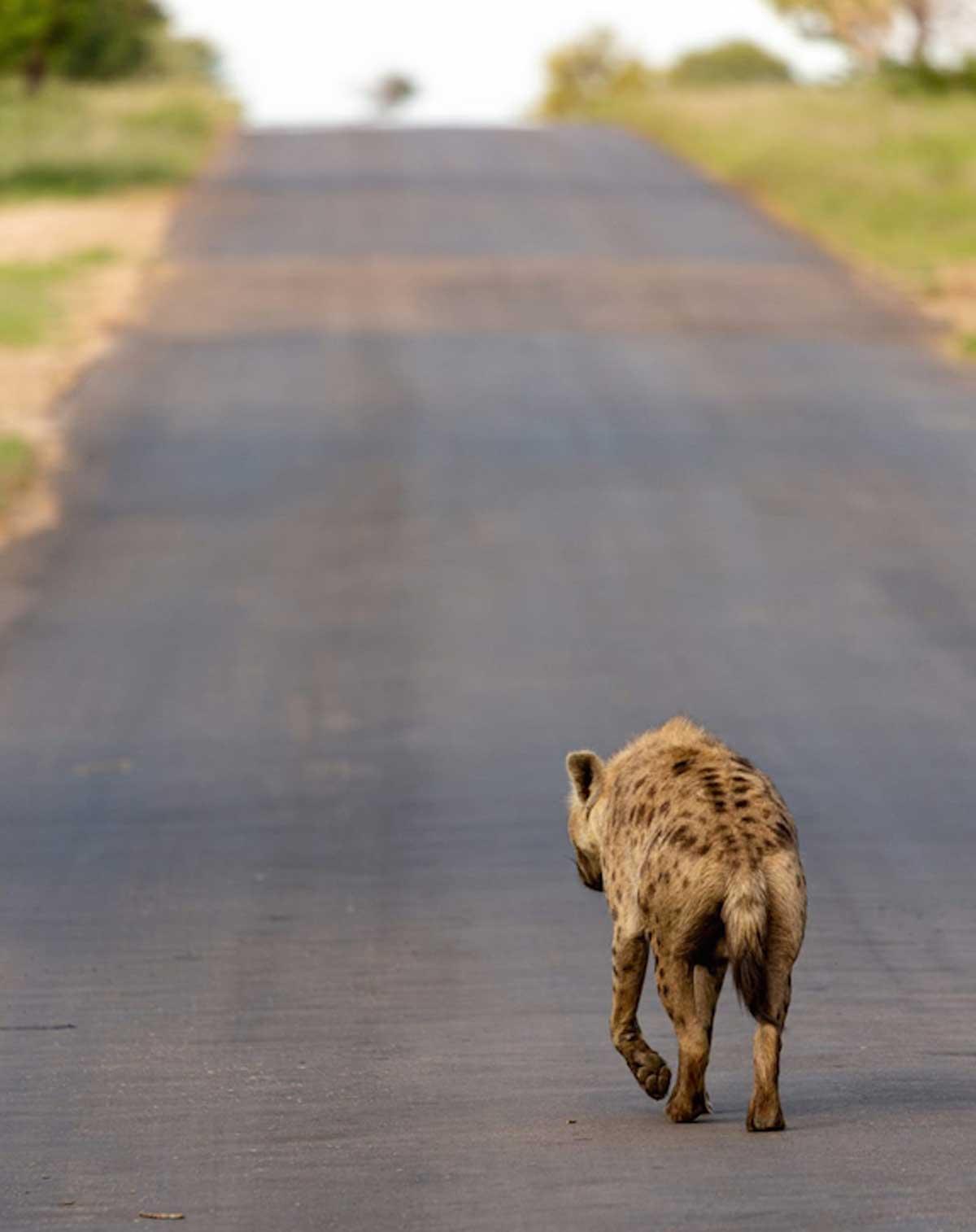 Nsala Hyena Walking