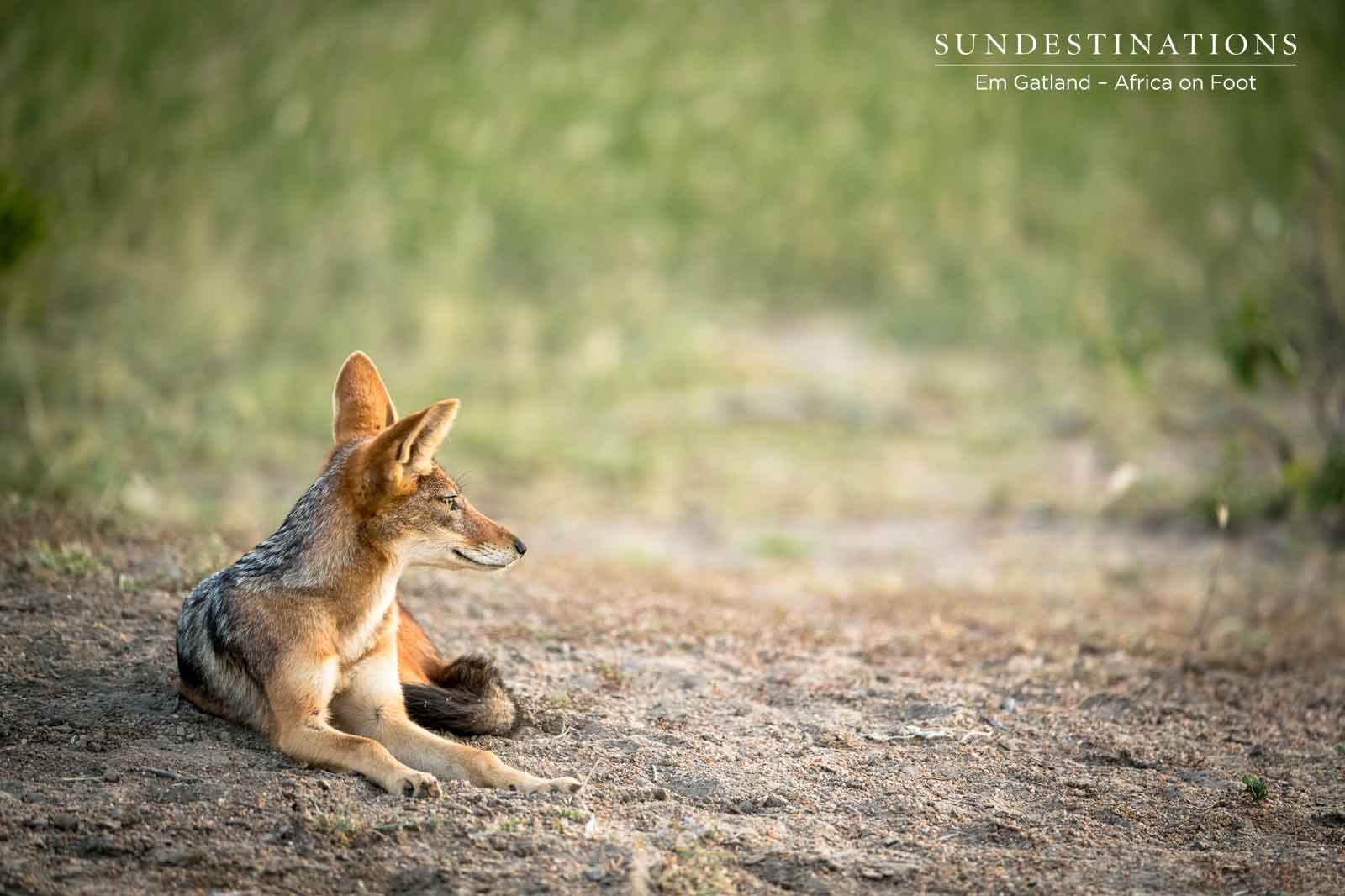 Young Jackal Pups