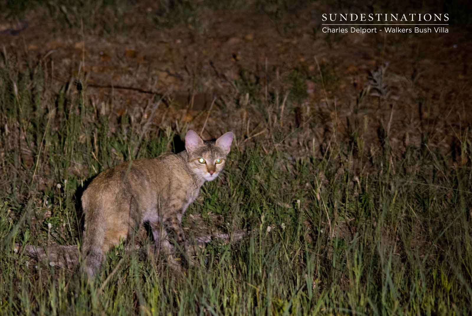 African Wild Cats at Walkers Bush Villa