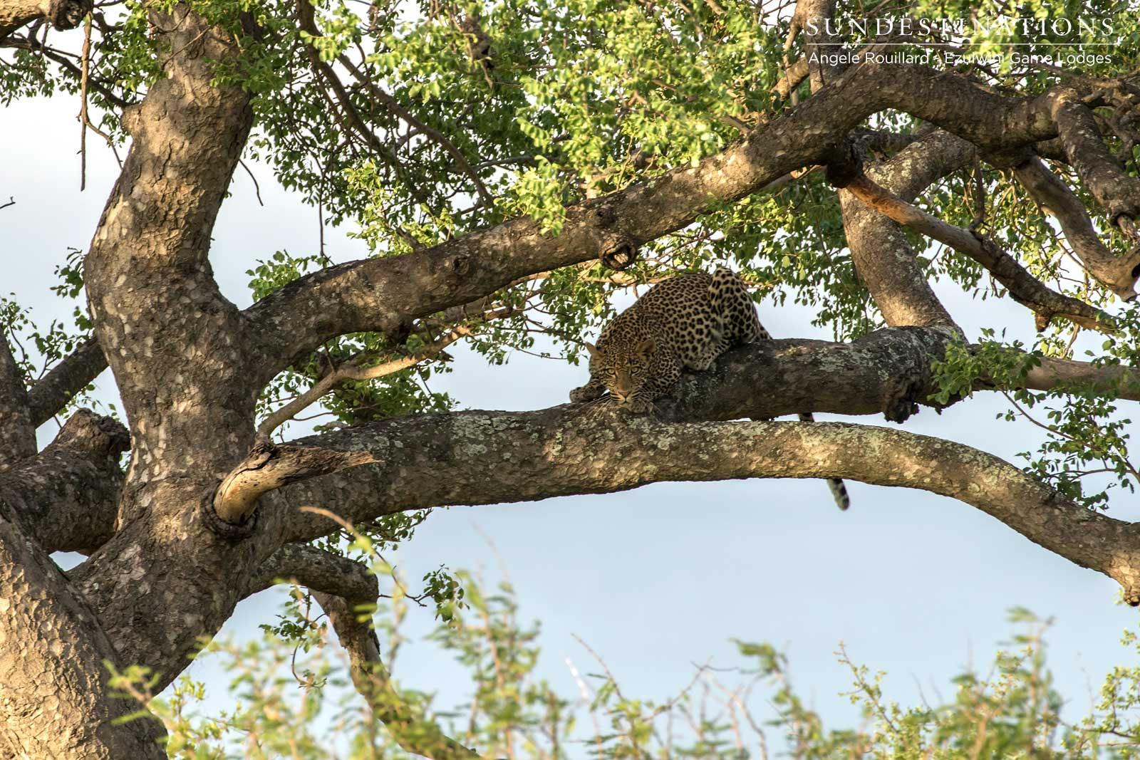Leopards of Ezulwini