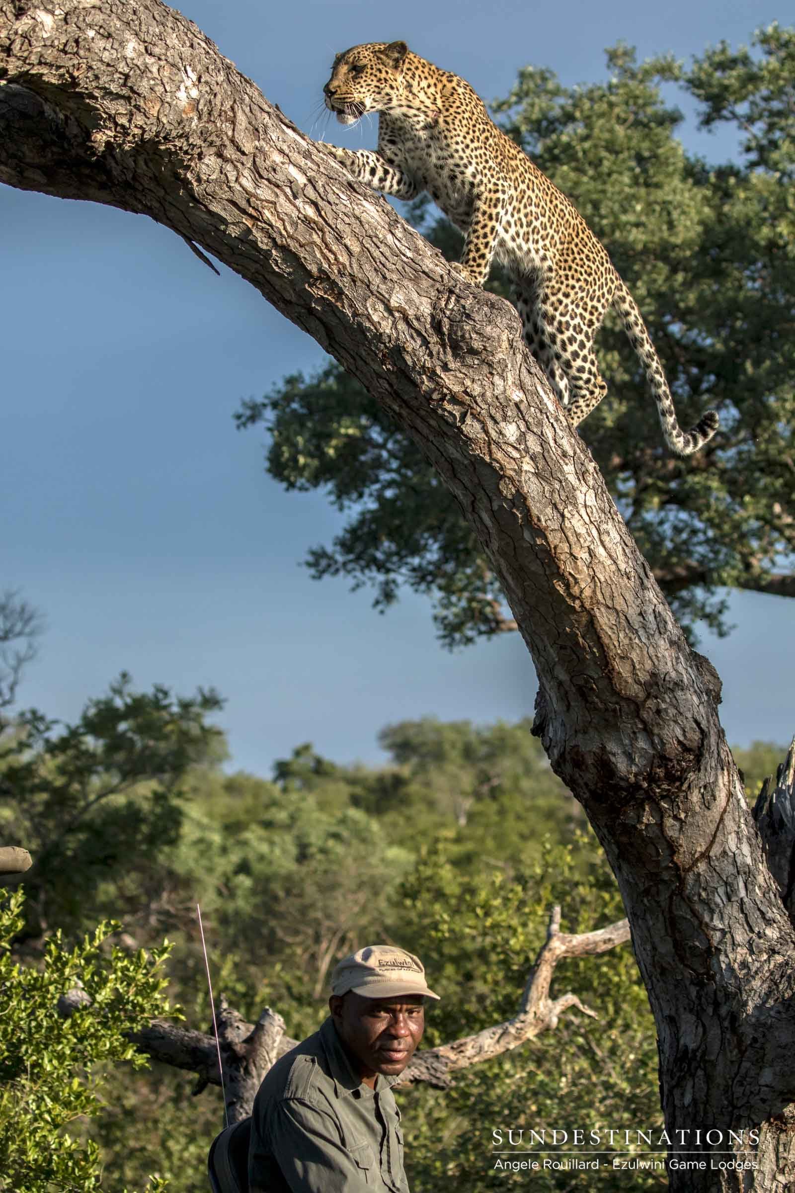 Leopard in Tree at Ezulwini