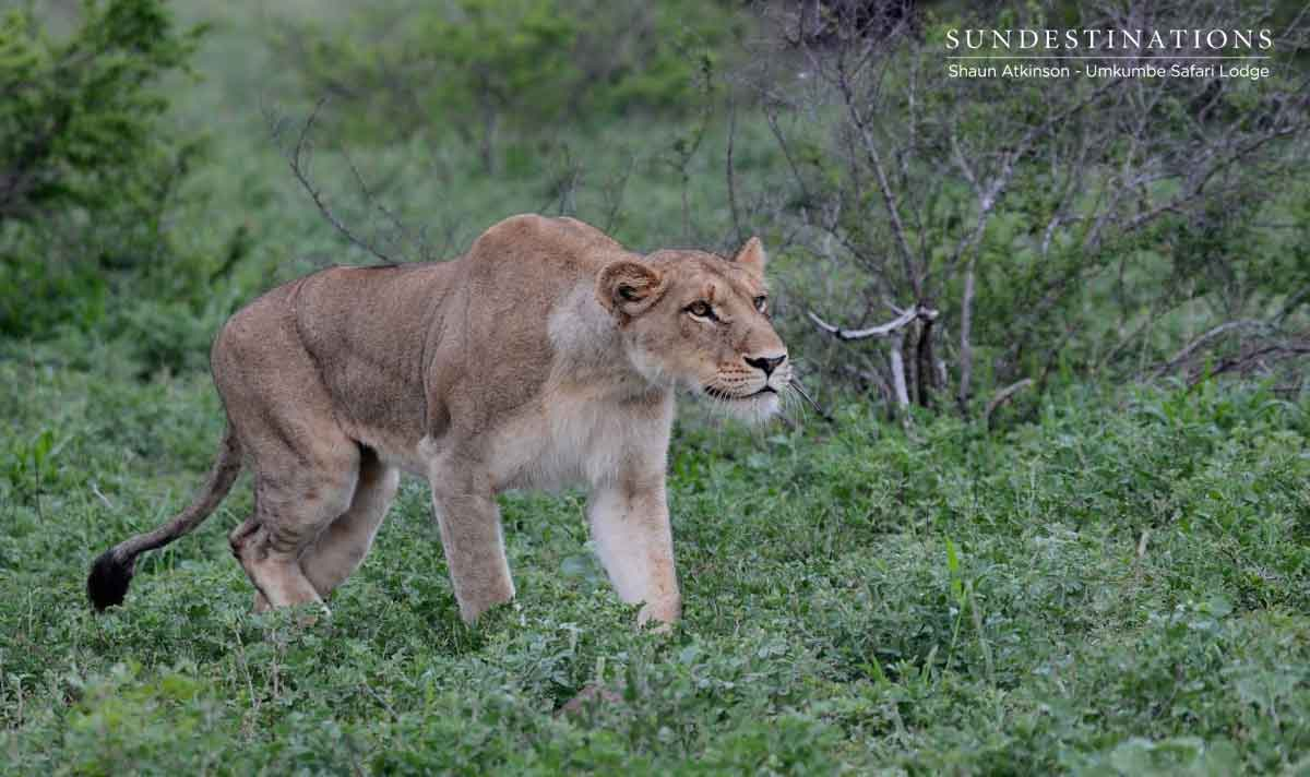 Lioness in Sabi Sand