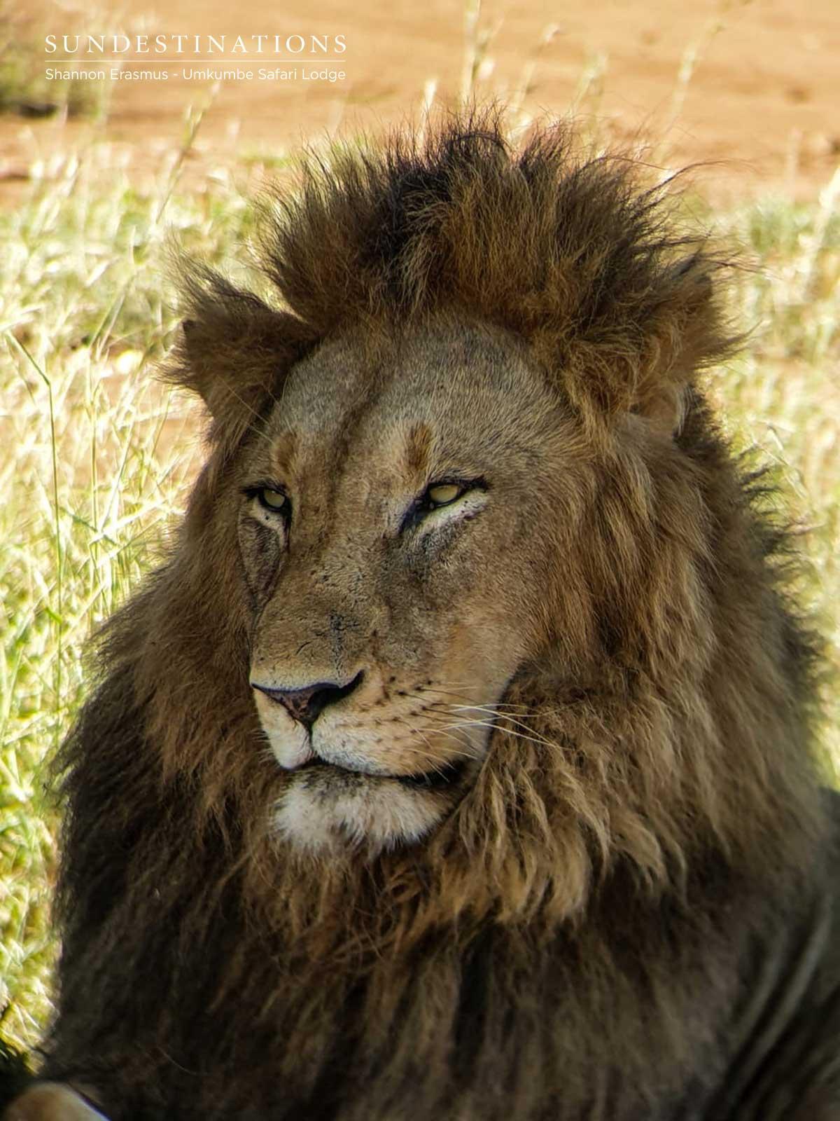 Othowa Male Lion
