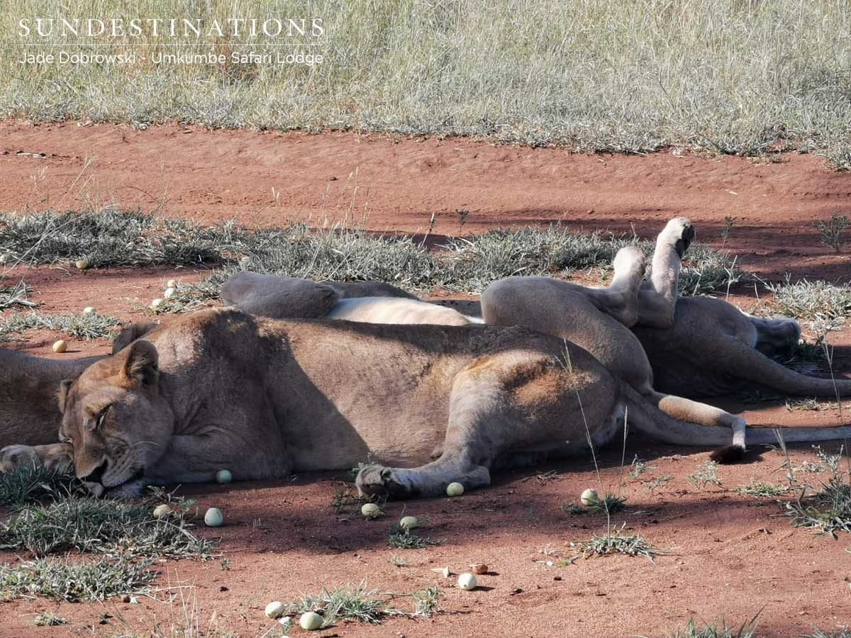 Umkumbe Lions Sleeping