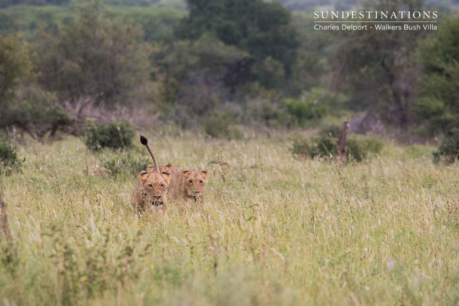 Walkers Giraffe Pride