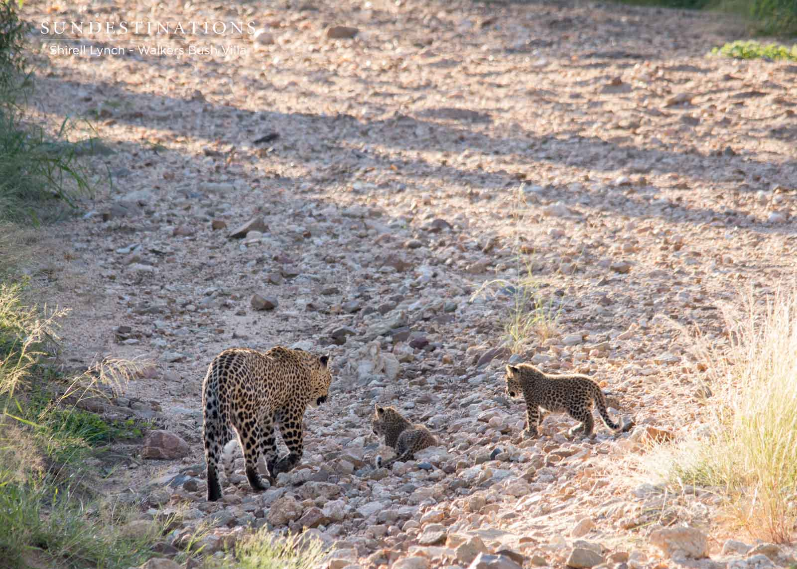 Walkers Bush Villa Leopard Cubs