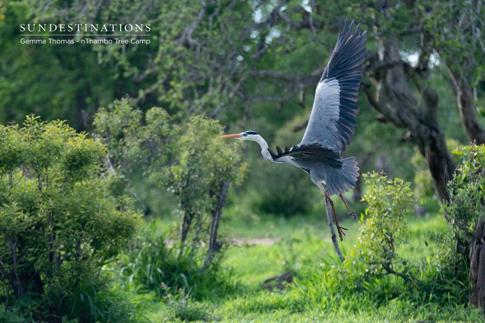 Grey Heron in the Klaserie