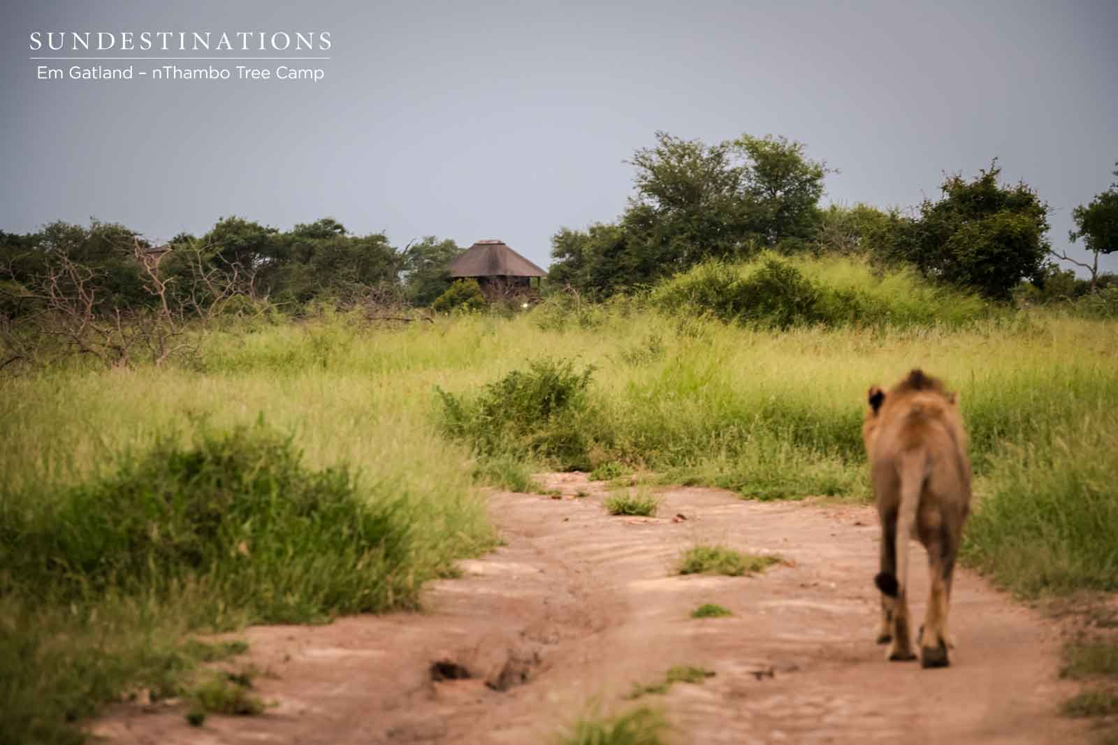 nThambo Lion Walking Down Road