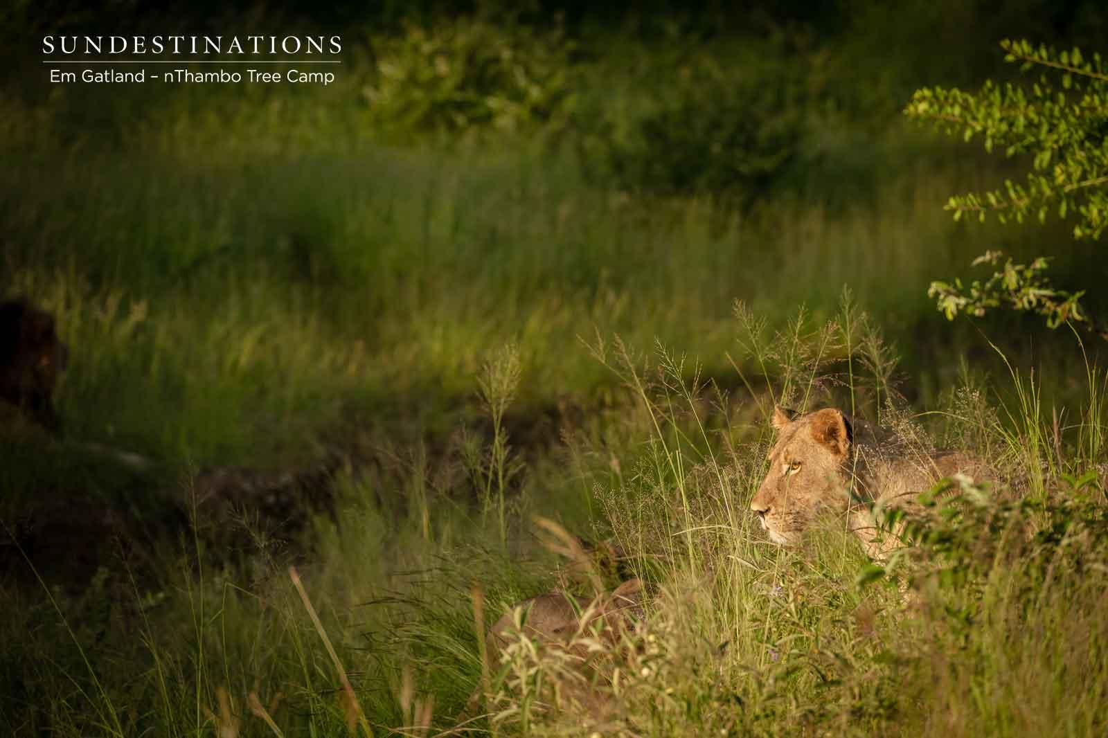 Lioness in Klaserie