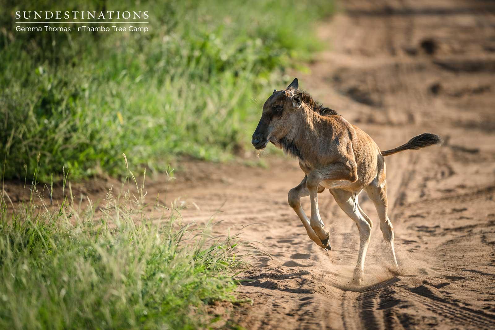 Wildebeest Calf in Action