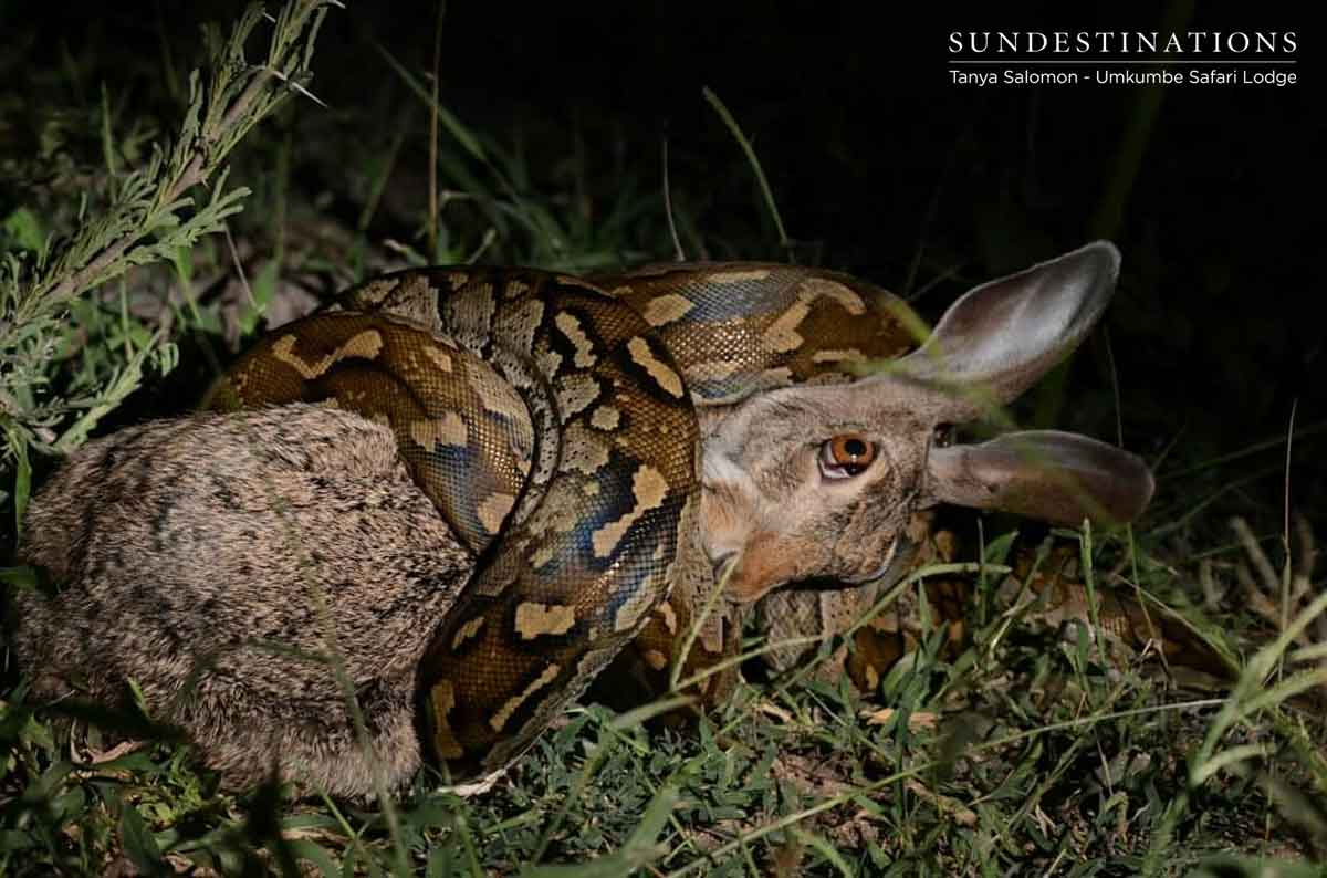 Rock Python Suffocating Hare