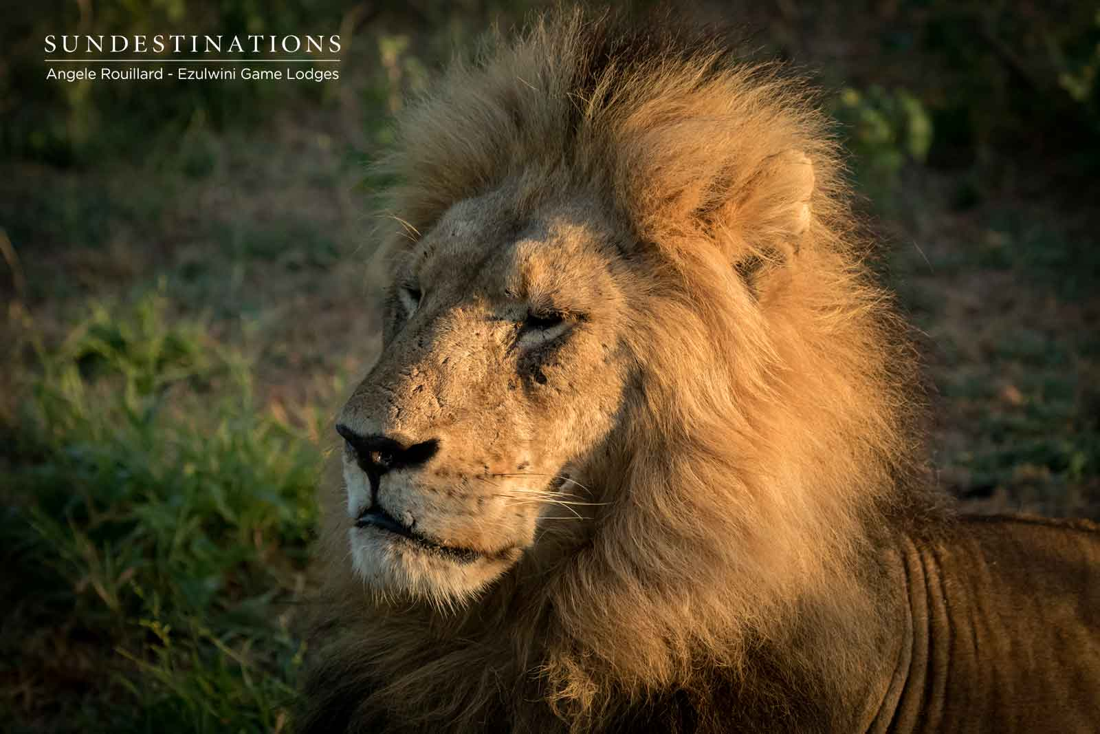 Machaton Male Lions