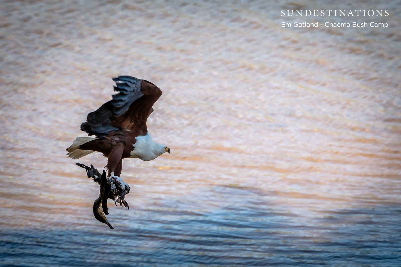 Chacma River with Fish Eagle