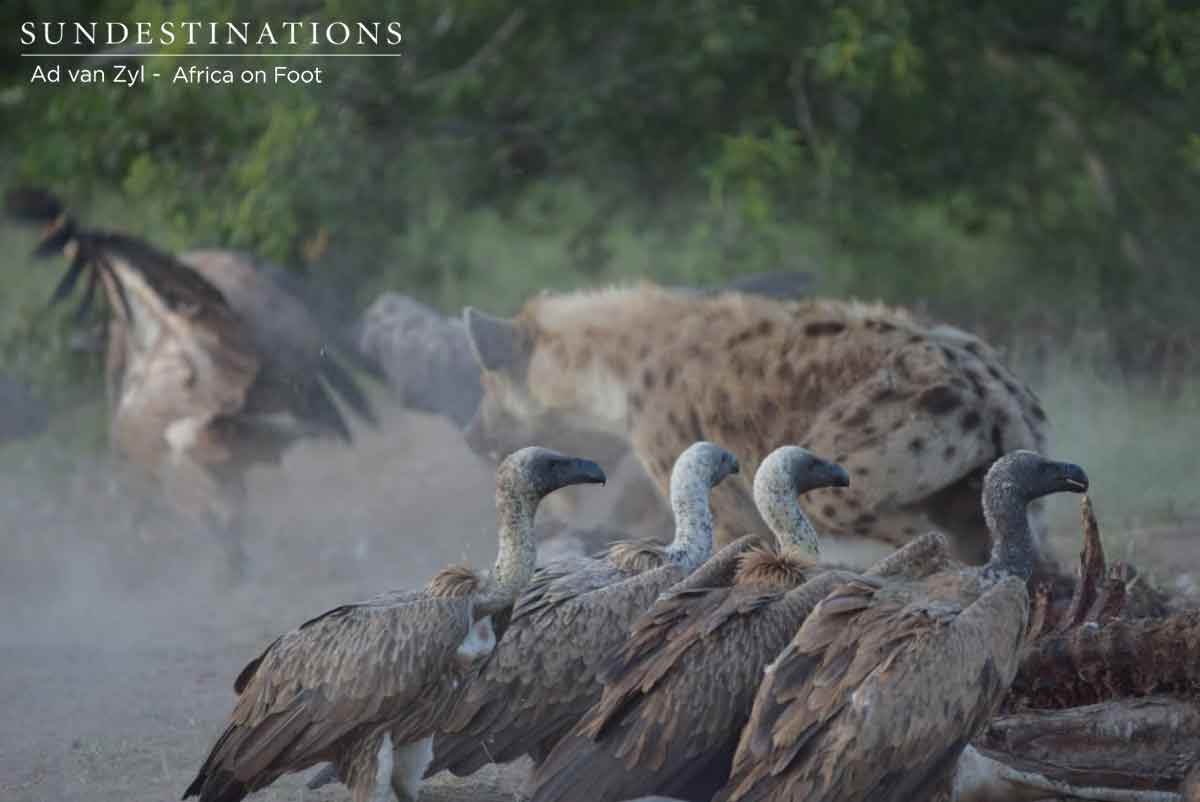 Hyenas and Vultures of Klaserie