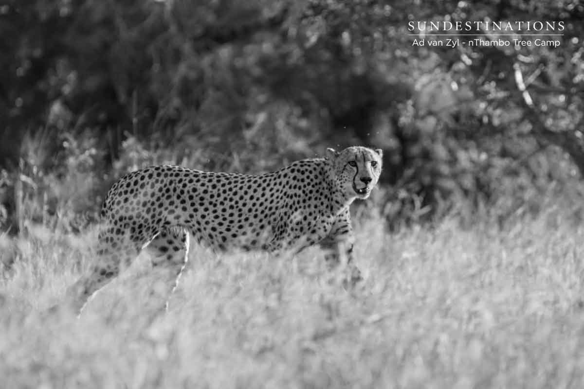 Cheetah at nThambo Tree Camp
