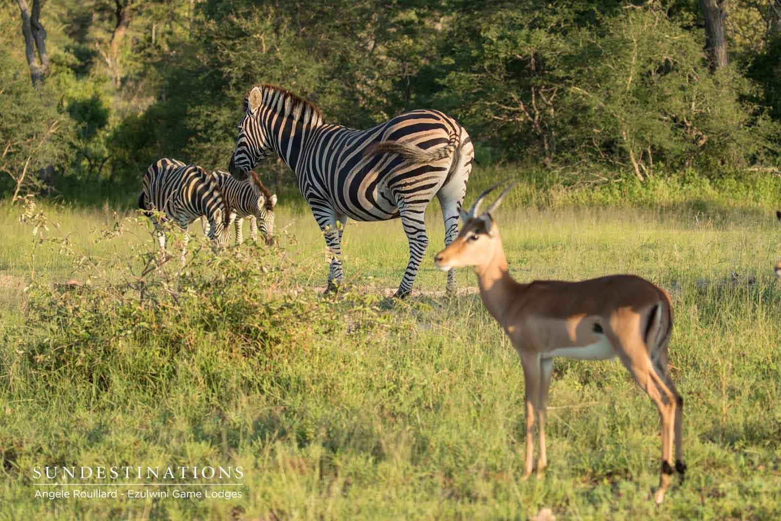 Ezulwini Zebra Impalas