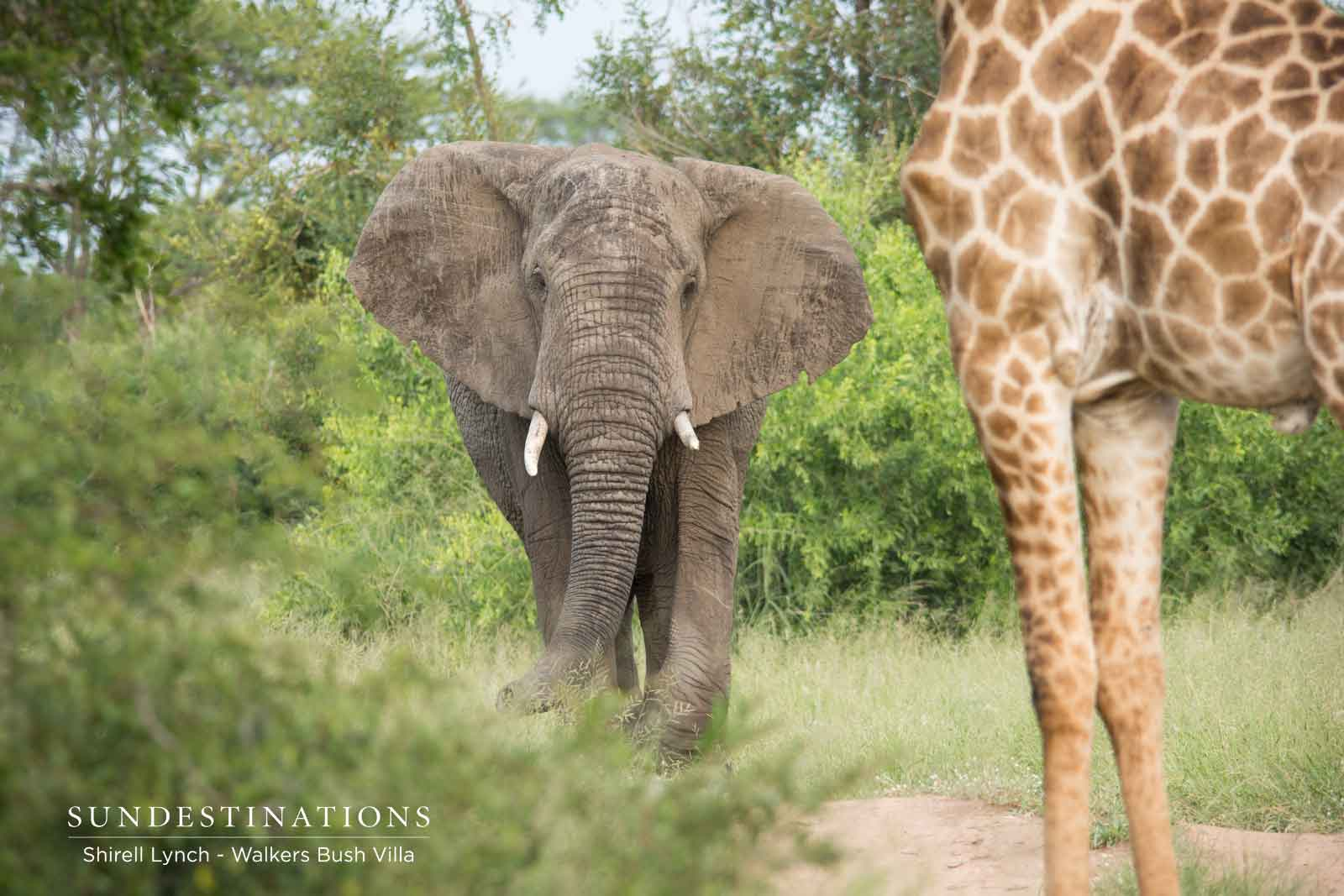 Elephant and Giraffe in Timbavati