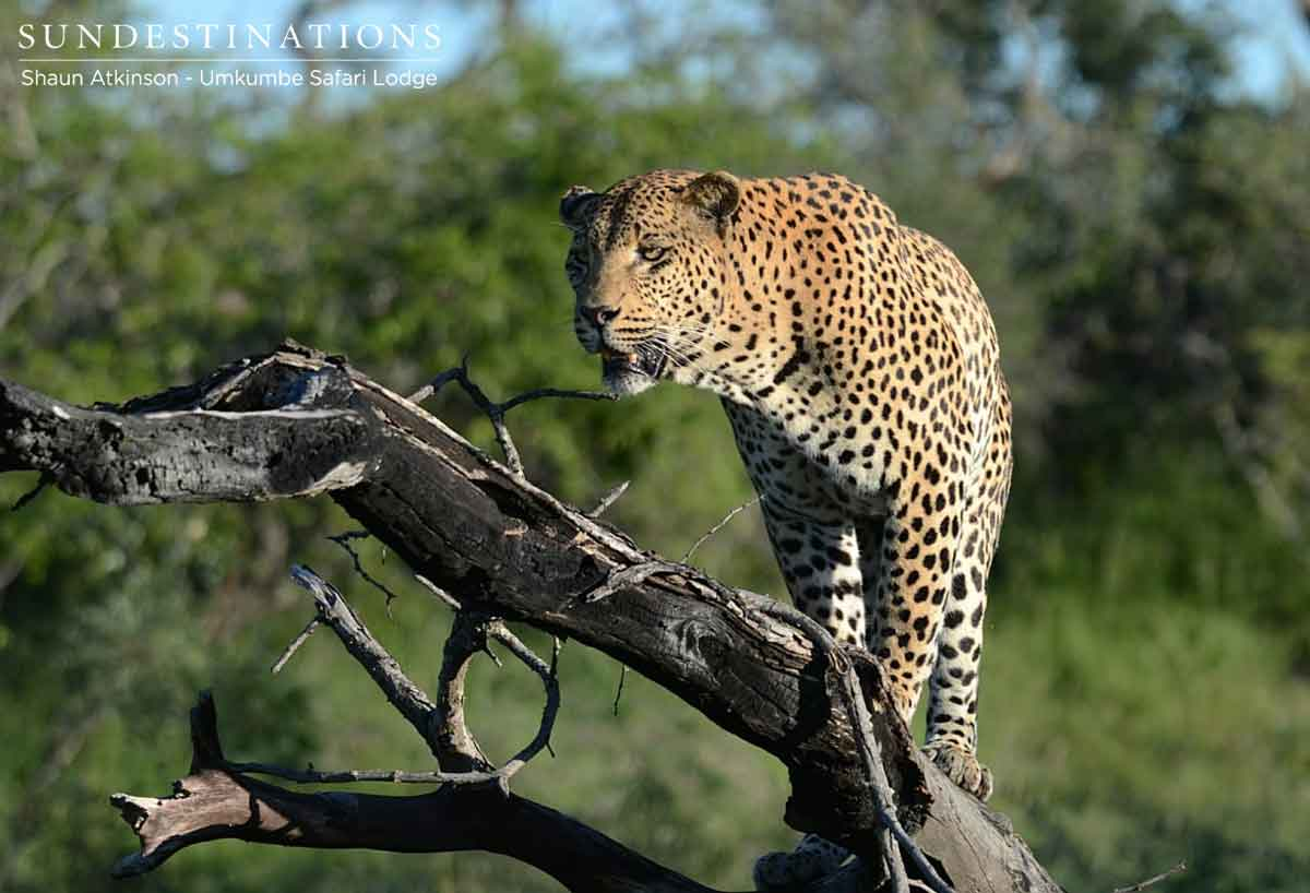 White Dam Male Leopard