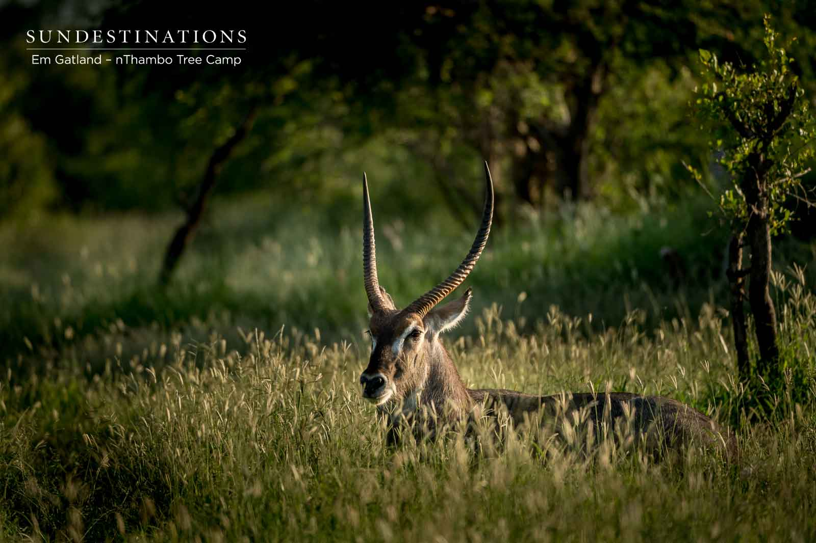Waterbuck at nThambo