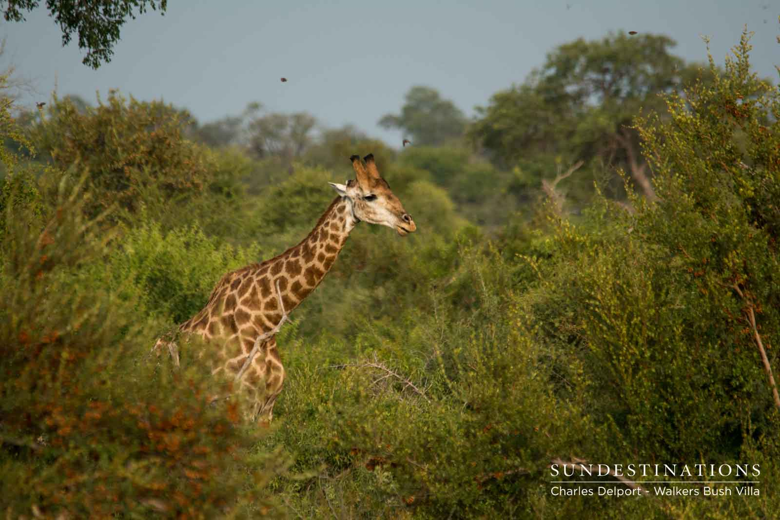 Giraffe at Walkers Bush Villa