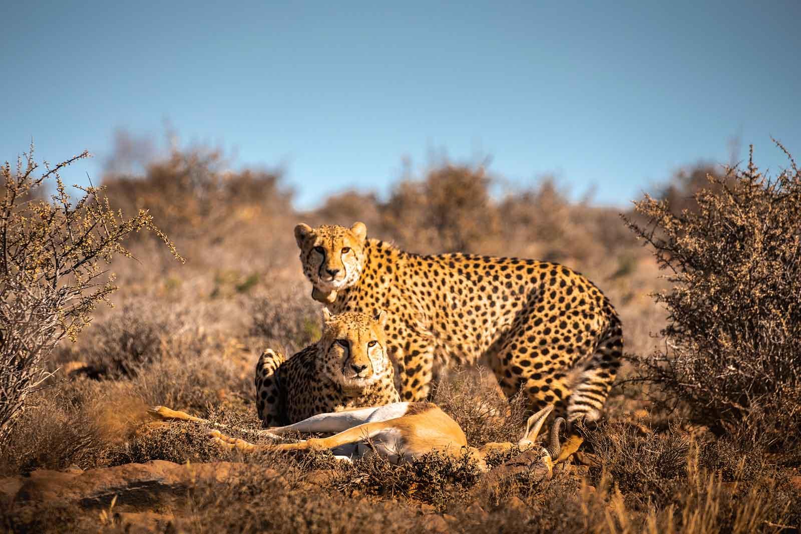 Roam Private Game Reserve - Cheetah