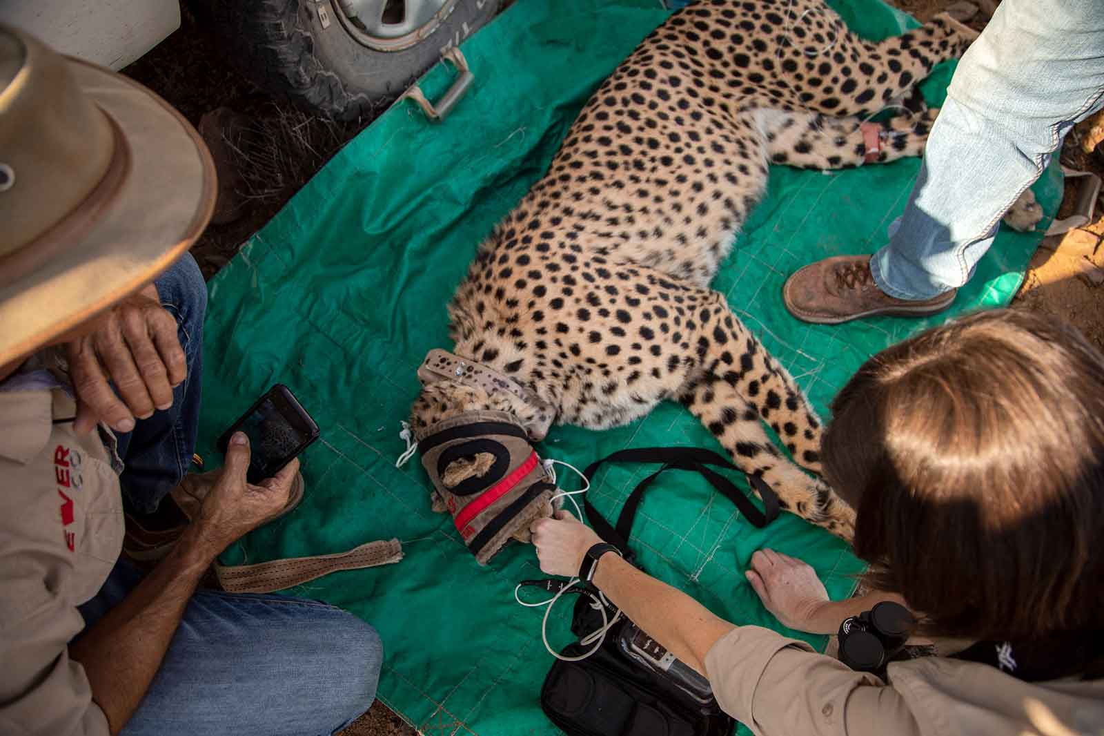 Fitting a GPS Collar to Cheetah in the Karoo. A Roam Update.