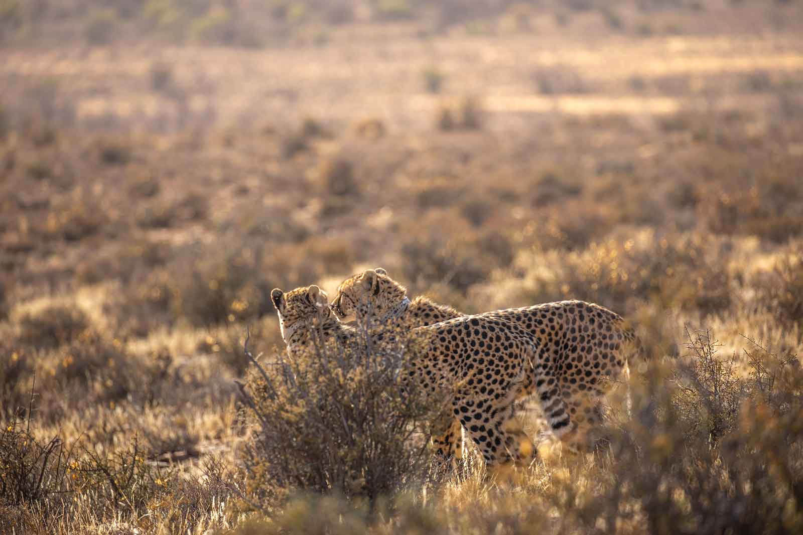 Cheetah Brothers in the Karoo
