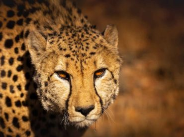 Roaming photographer and videogapher, Teagan Cunniffe, was recently on assignment at Roam Private Game Reserve. She caught up with the team from Roam, and documented the darting and GPS collaring of one of the male cheetah. In her video she interviews Don from Roam and Dr Willem Burger from EWT. The darting and fitting of […]