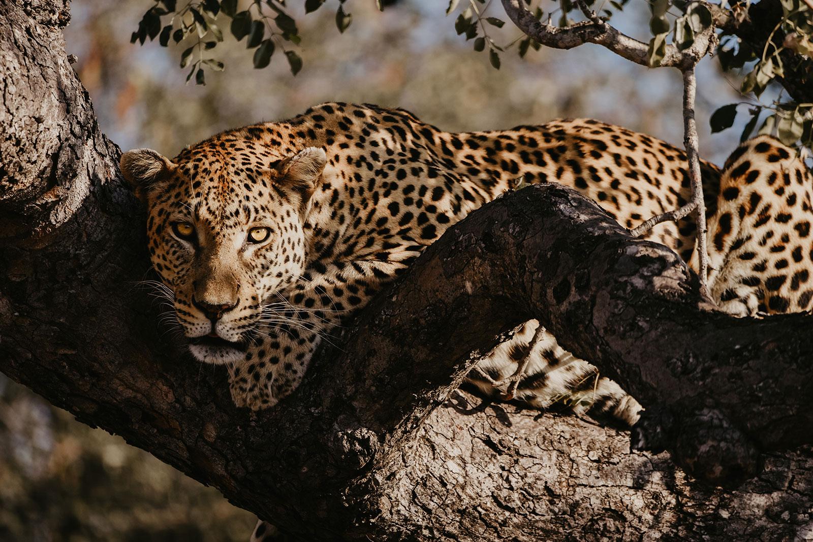 nThambo Safari Leopard