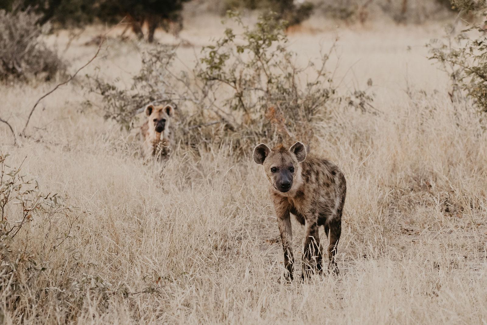 nThambo Safari Hyena