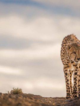 Cheetah in the Karoo