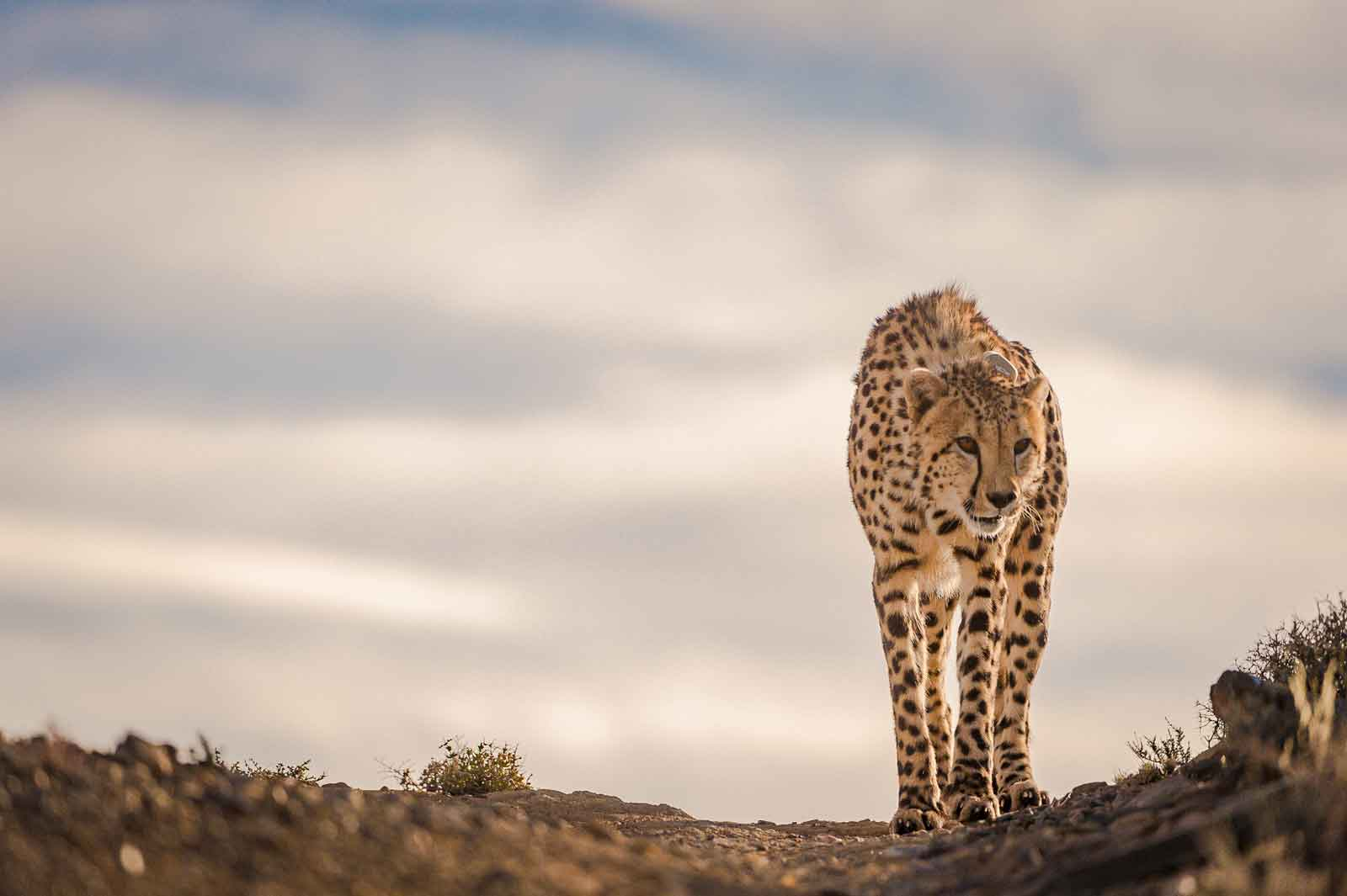Cheetah in the Karoo