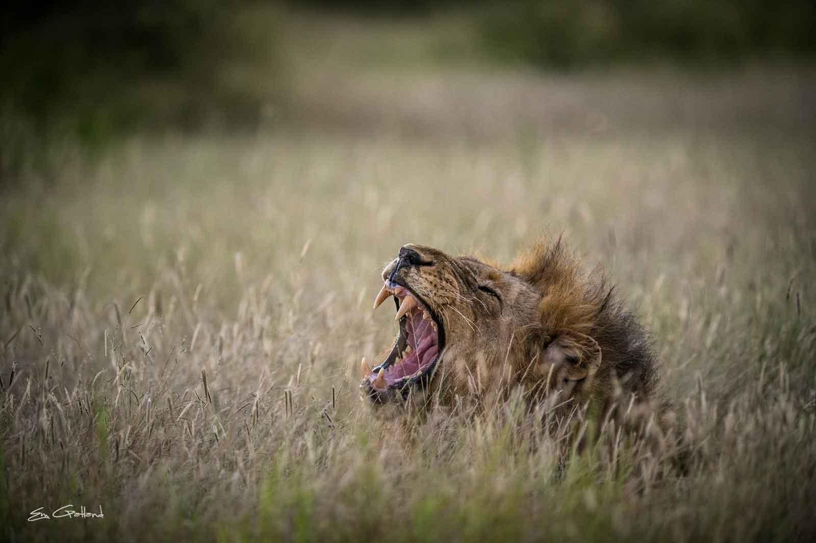 Vuyela Lion Roaring