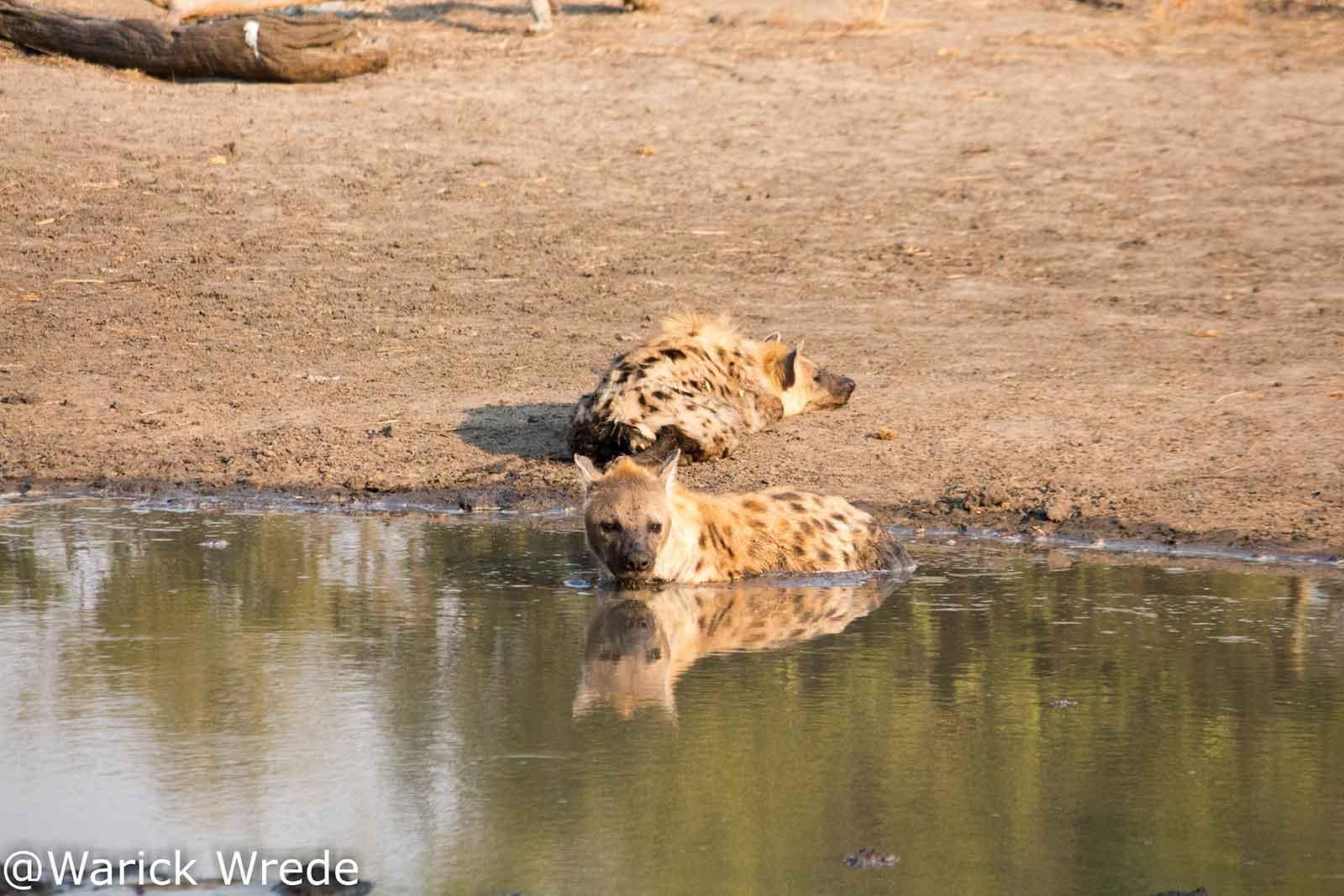 Hyenas at Klaserie Waterhole