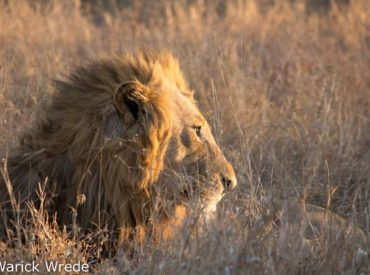 Warick Wrede, one of the managers of nThambo Tree Camp, furnished us with a sightings update from the Klaserie. In his post below, he reminds us of the Vuyela's history and bloodline. These lions are no stranger to the nThambo and Africa on Foot traverse, and provide fairly consistent sightings. Warick's update is below. Let […]