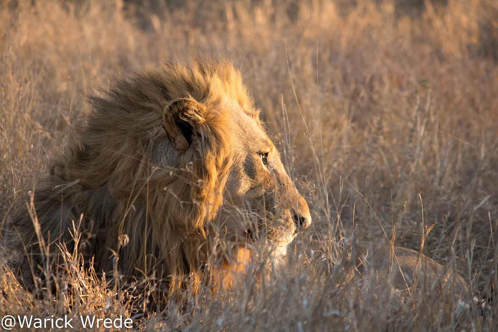 Vuyela Male Lion