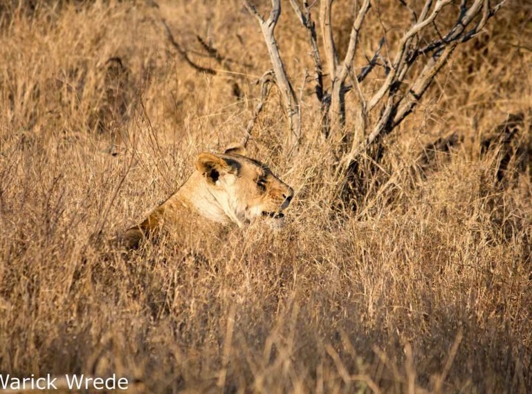 Vuyela Lioness in the Thickets
